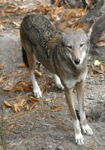 vlm-red-wolf